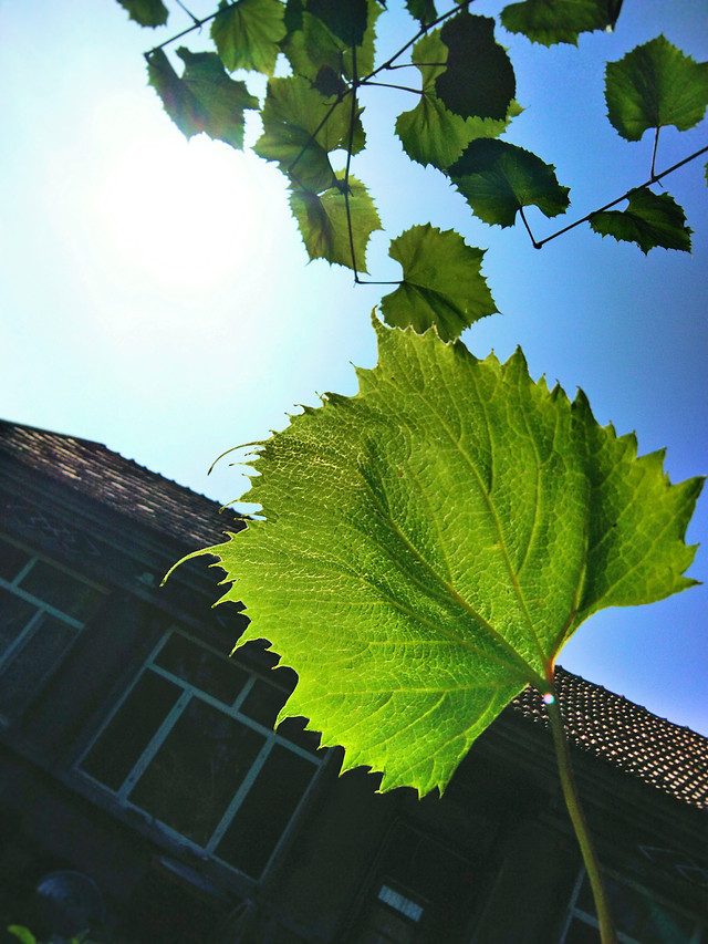 leaf-flora-vine-nature-growth picture material