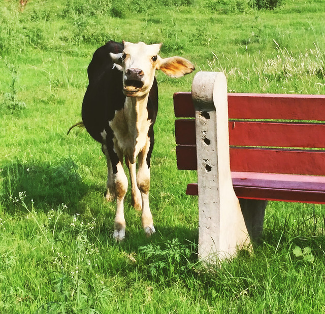 grass-mammal-animal-cow-pasture picture material