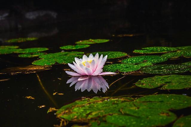 pool-flower-lotus-leaf-nature 图片素材