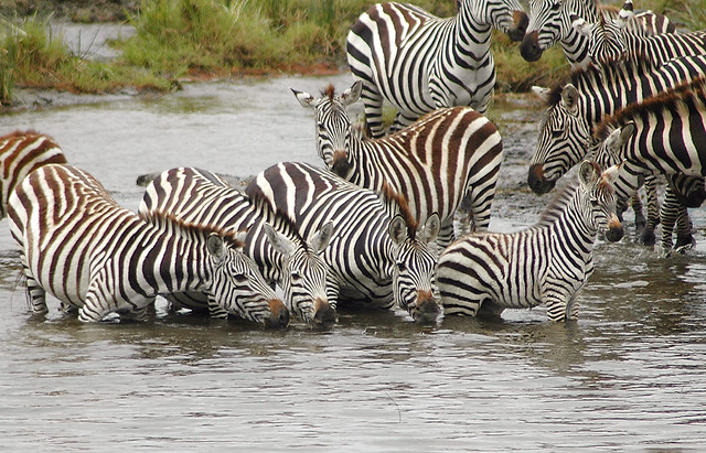 zebra-wildlife-nature-wild-safari picture material