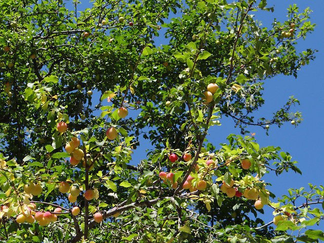 tree-fruit-nature-branch-leaf picture material