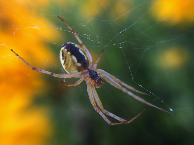 spider-arachnid-insect-spiderweb-nature picture material