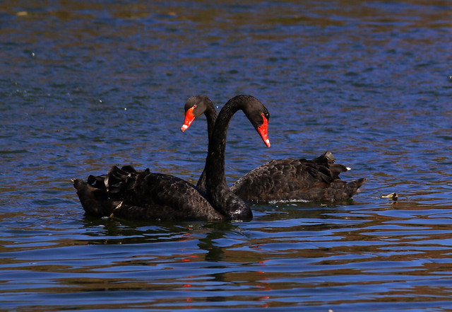 black-swan-no-person-swan-bird-water picture material