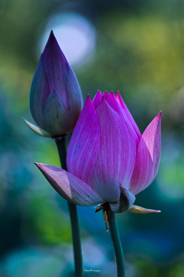 lotus-flower-nature-leaf-lily picture material