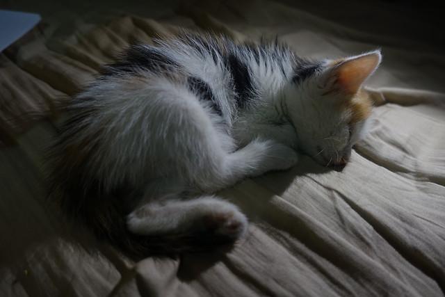 cat-sleep-cute-pet-kitten picture material