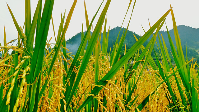 field-grass-crop-agriculture-my-september picture material
