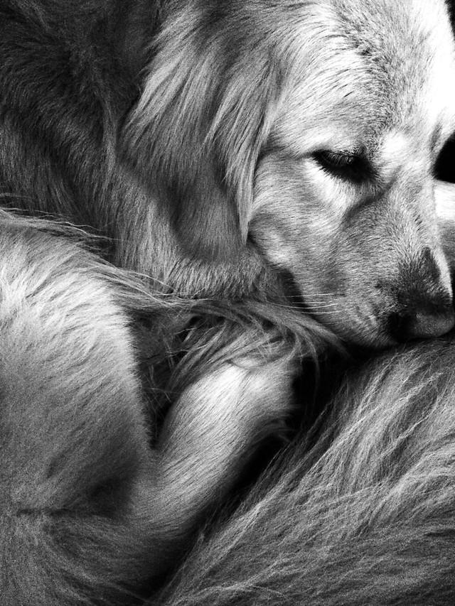 dog-fur-mammal-portrait-animal picture material