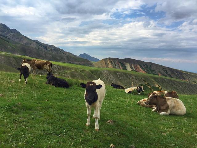 cattle-no-person-cow-mammal-livestock picture material