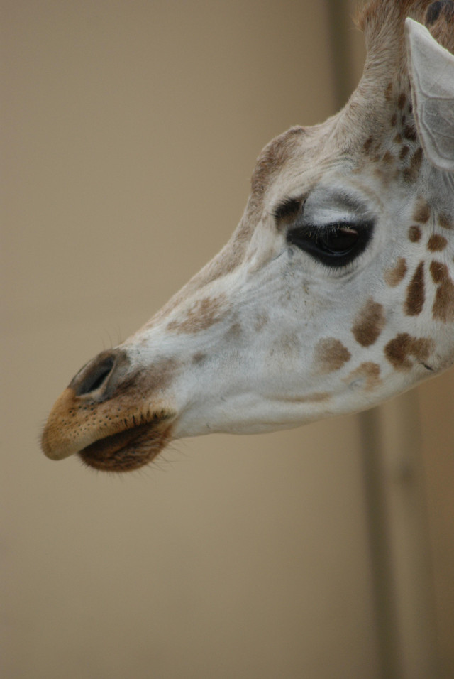 animal-nature-giraffe-portrait-head picture material