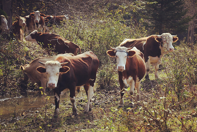 mammal-cow-agriculture-cattle-livestock picture material