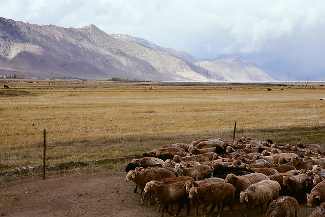sheep-no-person-agriculture-herd-landscape picture material