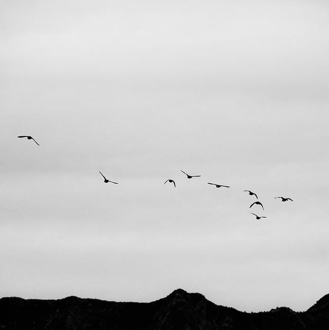 bird-flight-flock-wildlife-sky picture material
