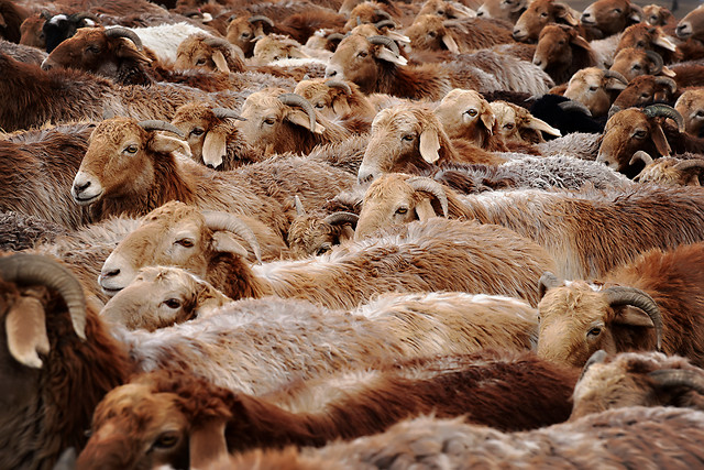 mammal-sheep-animal-nature-livestock picture material