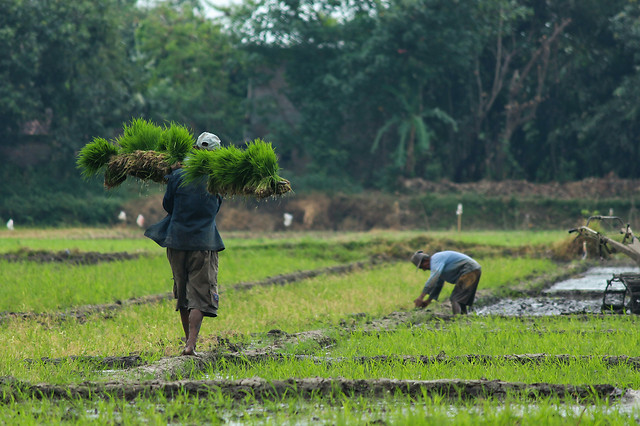 agriculture-paddy-rice-cropland-farm picture material