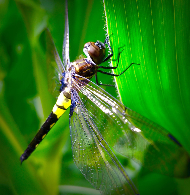 dragonfly-insect-damselfly-invertebrate-wildlife picture material