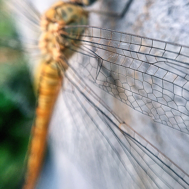 insect-dragonfly-nature-animal-fly picture material