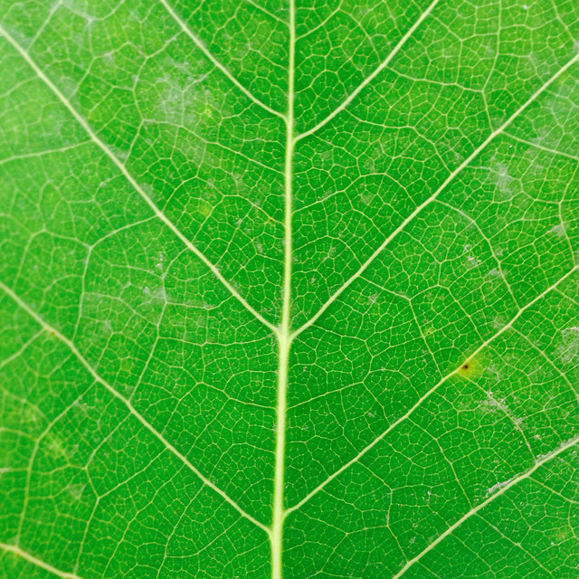 leaf-flora-vein-ecology-photosynthesis picture material