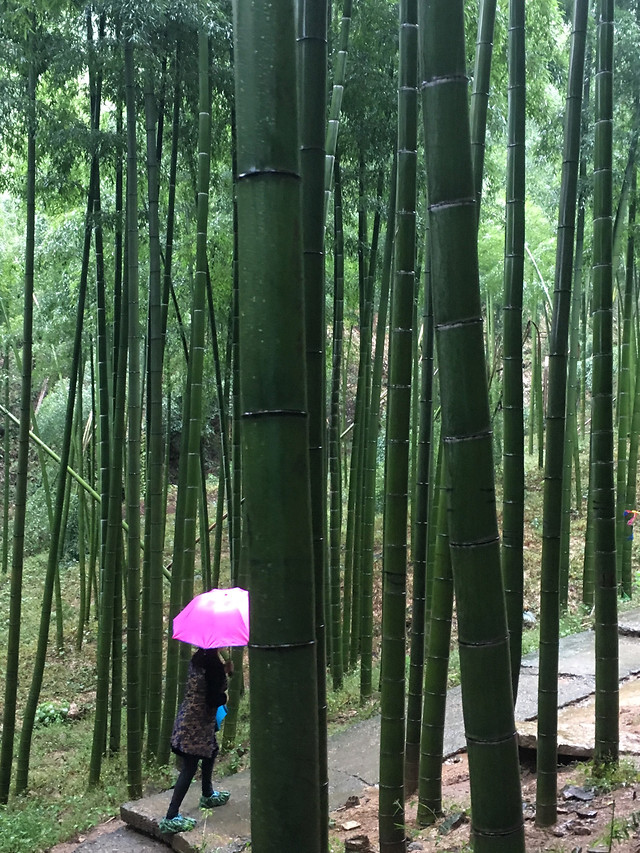 wood-bamboo-tree-nature-leaf picture material
