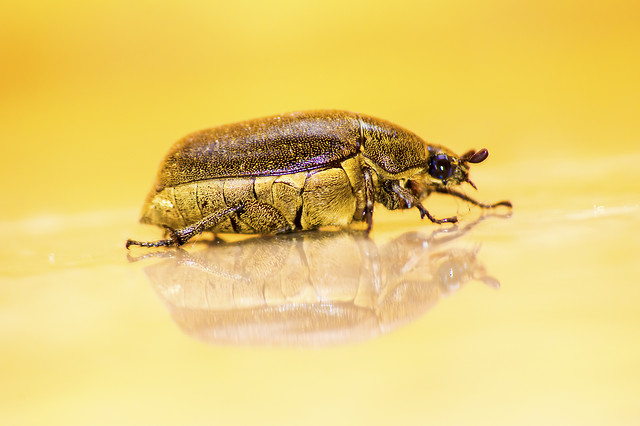 beetle-insect-invertebrate-nature-animal picture material