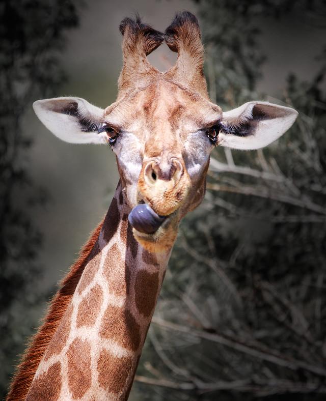 animal-giraffe-mammal-nature-wildlife picture material