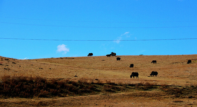 no-person-mammal-landscape-cattle-outdoors 图片素材