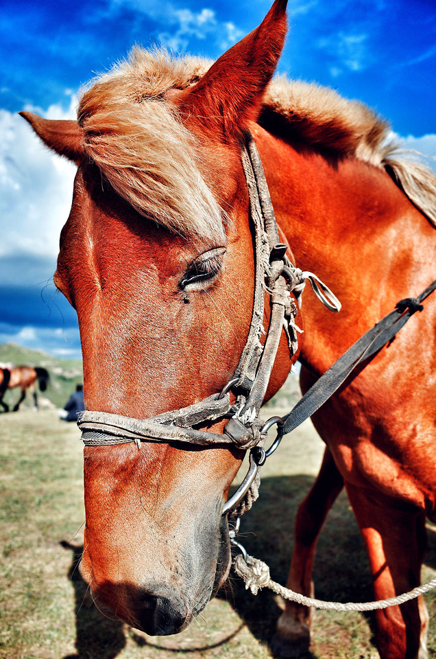 cavalry-horse-mammal-animal-bridle picture material