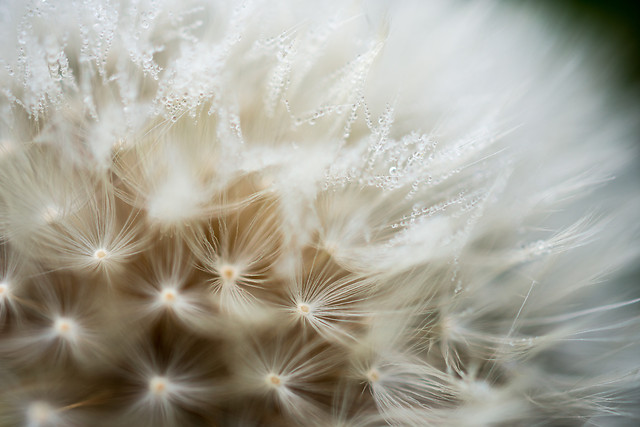 dandelion-downy-nature-insubstantial-softness picture material