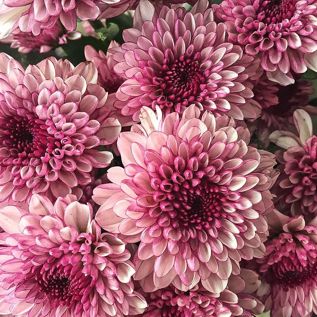 flower-floral-flora-nature-petal picture material