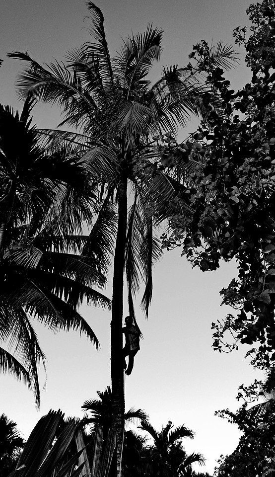 palm-tree-beach-tropical-coconut picture material