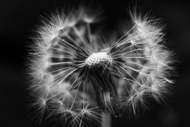 dandelion-monochrome-no-person-flower-black-and-white picture material