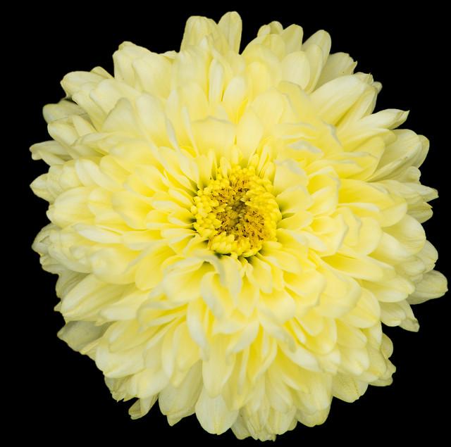 flower-chrysanthemum-petal-summer-nature picture material