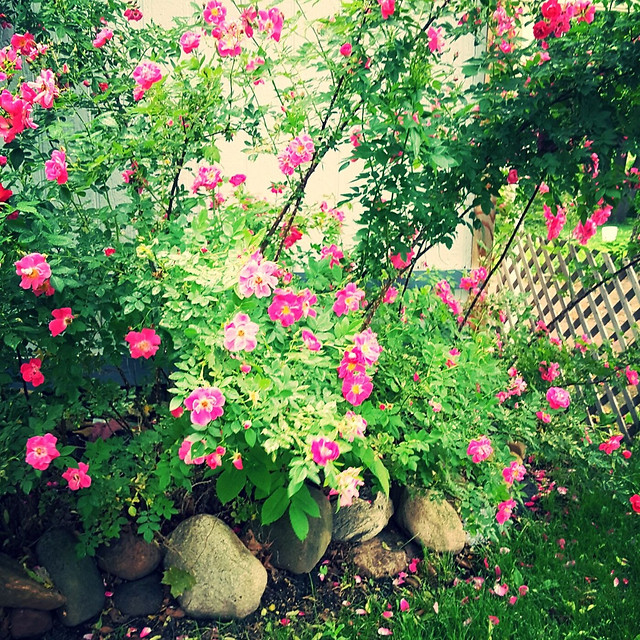 flower-garden-flora-no-person-rose picture material