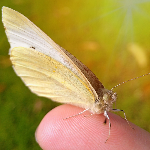 butterfly-insect-nature-moth-invertebrate picture material