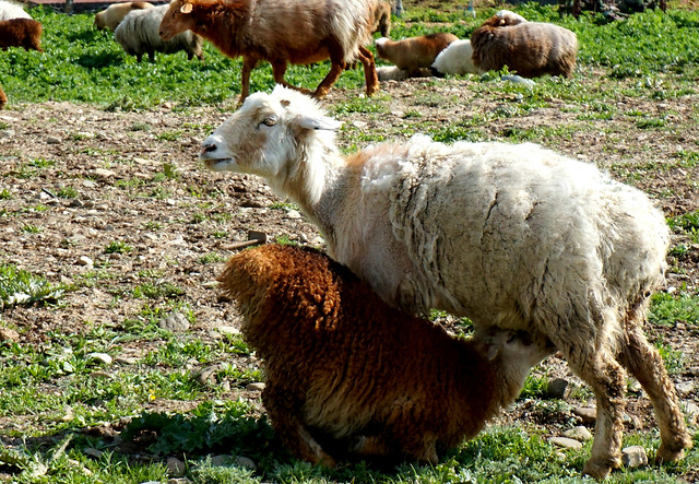 farm-mammal-animal-livestock-grass picture material