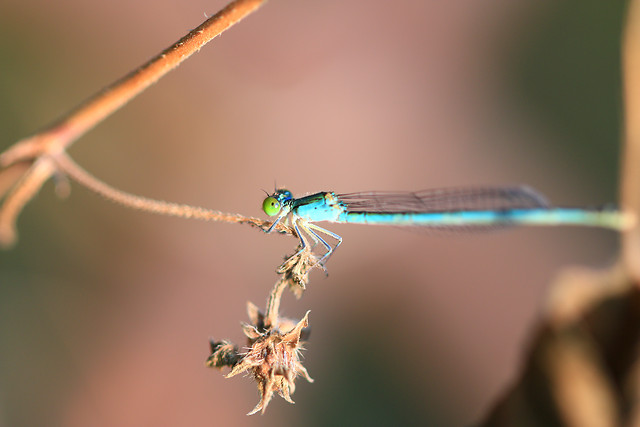 dragonfly-no-person-insect-nature-wildlife picture material