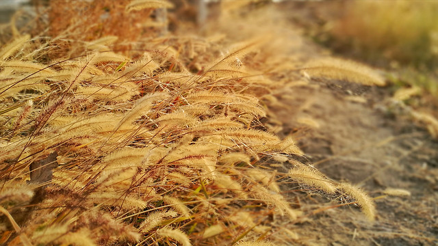 nature-gold-dry-desktop-cereal picture material