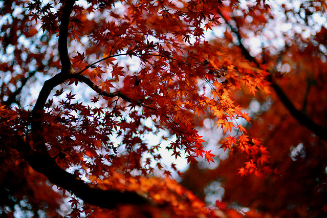 leaf-fall-tree-maple-no-person 图片素材