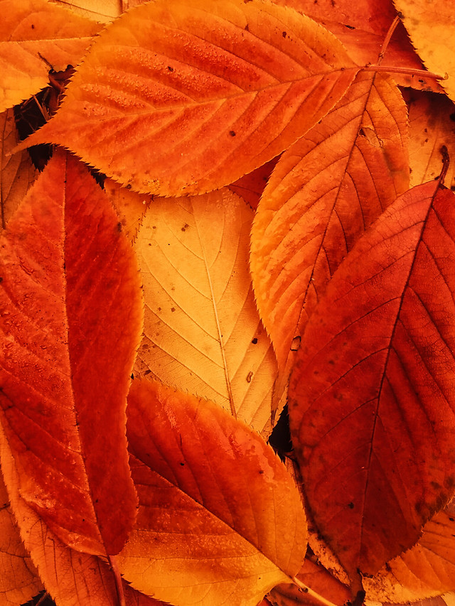 leaf-fall-maple-nature-flora picture material