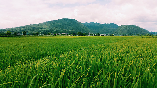 no-person-rice-rural-grass-pasture picture material