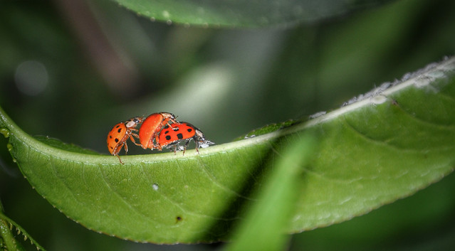 insect-ladybug-leaf-nature-no-person picture material
