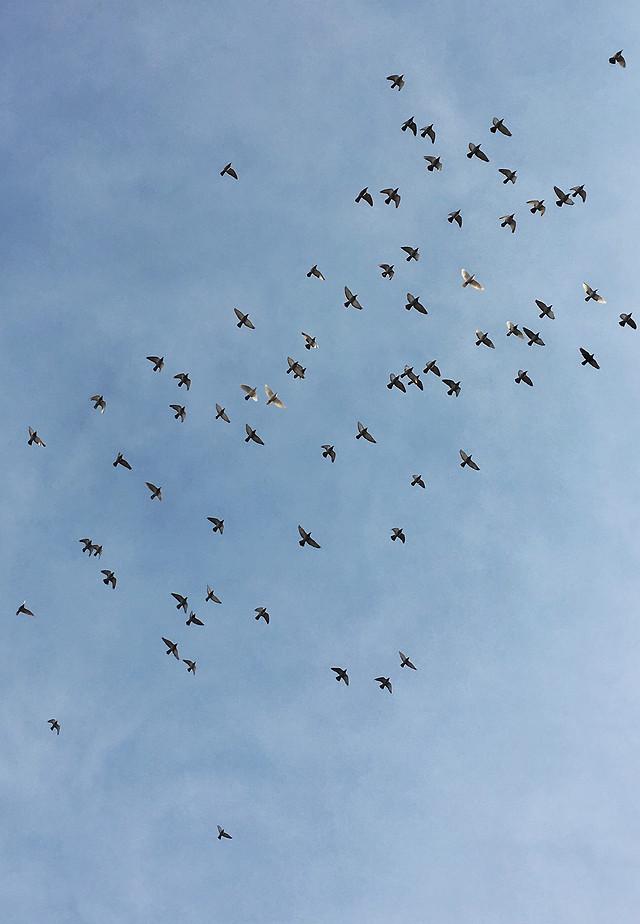 bird-flight-sky-wildlife-flock picture material