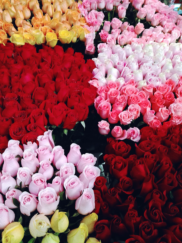 flower-pink-color-rose-desktop picture material