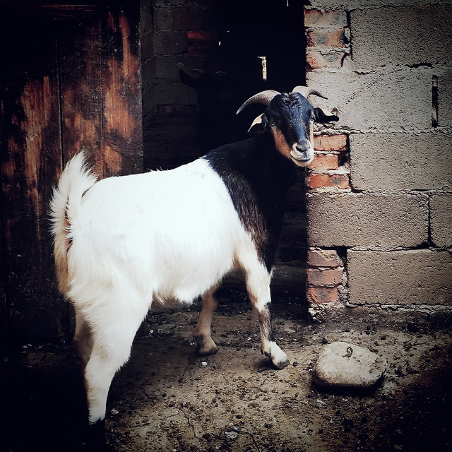 mammal-goat-cattle-livestock-dog picture material