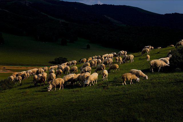 sheep-no-person-mammal-livestock-herd picture material