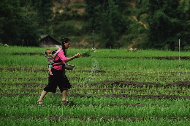 green-paddy-field-rice-outdoors-agriculture picture material