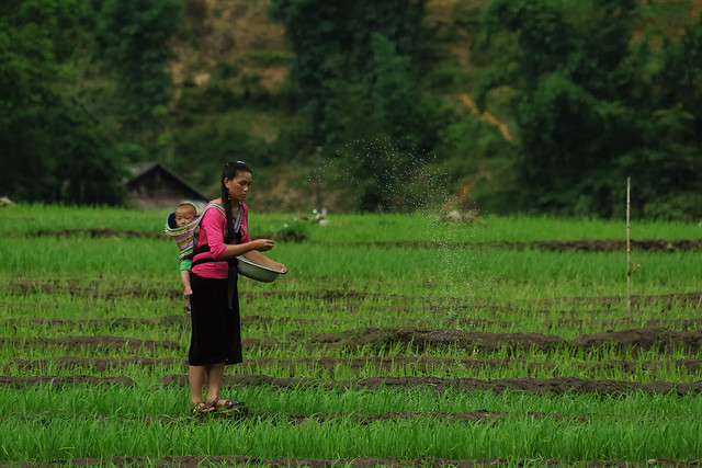 rice-girl-nature-landscape-green picture material