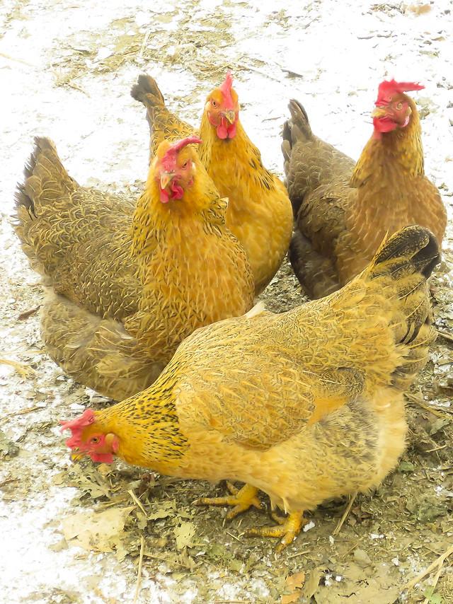 poultry-hen-bird-chicken-farm 图片素材
