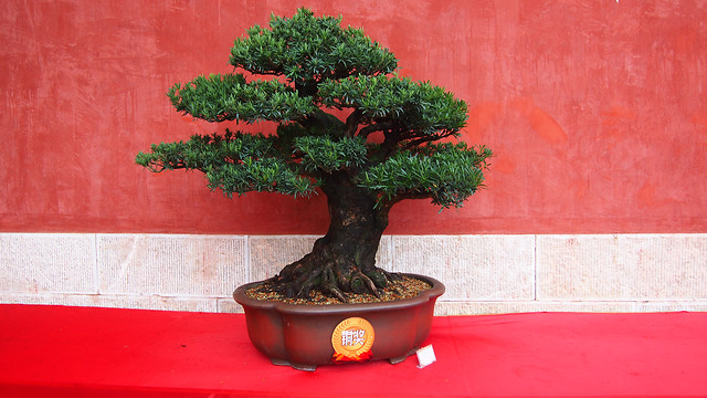 bonsai-no-person-pot-tree-decoration picture material