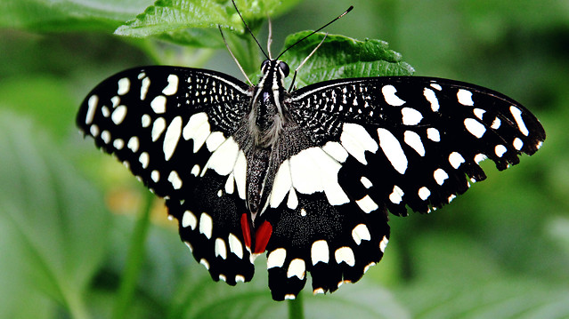 butterfly-insect-invertebrate-nature-wing picture material