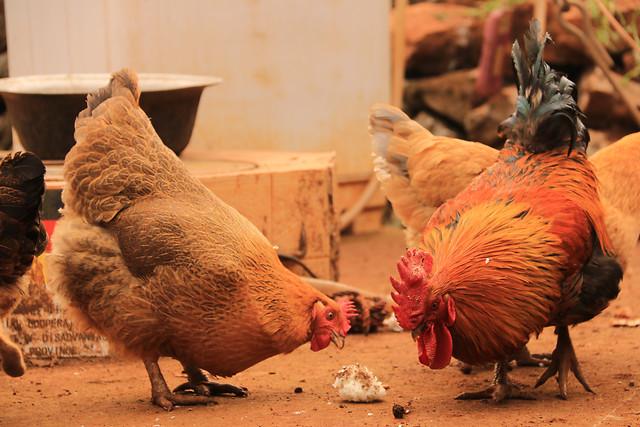 poultry-bird-hen-livestock-chicken 图片素材